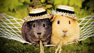 Guinea pigs are the cutest animals! Subscribe: http://bit.ly/FunnyPetMedia  Facebook: http://bit.ly/FunnyPetMediaFB Submit your video: ...