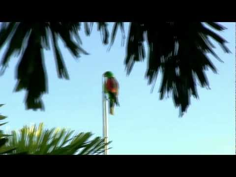 Red-winged Parrot (Aprosmictus erythropterus).mp4