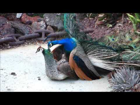 Peacock Mating 13