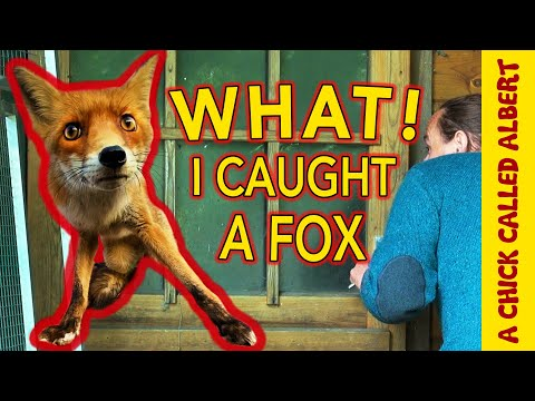 The Unexpected Capture and Release of a Fox