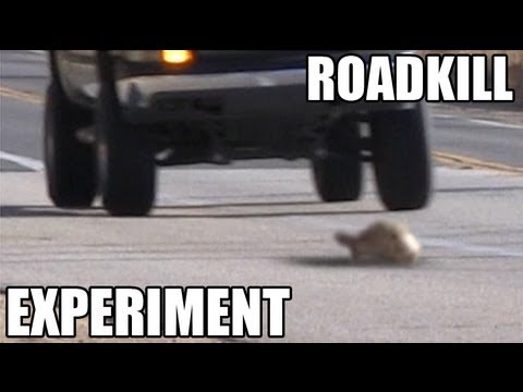 Roadkill Experiment - Which Do Drivers Hit More?