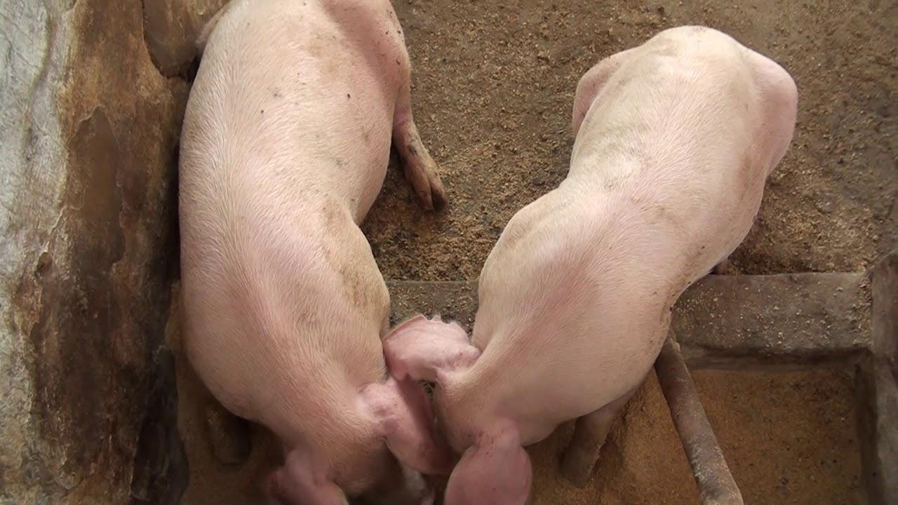 Alimentación de cerdos. Investigación de estudiantes