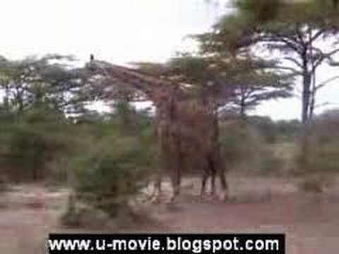 Amuk Giraffe