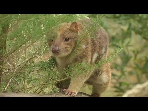 Αυστραλία: Με εξαφάνιση απειλούνται οι δασύουροι