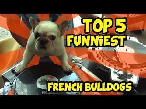top 5 video divertenti bulldog francese!