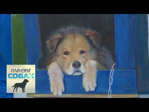 Балканская гончая. Планета собак