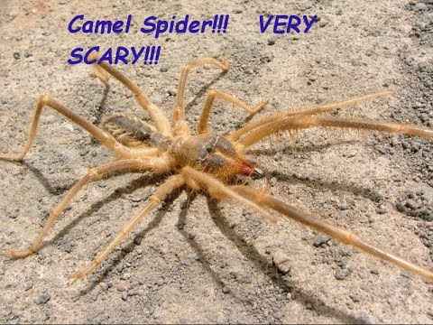 Camel Spider Review  HD