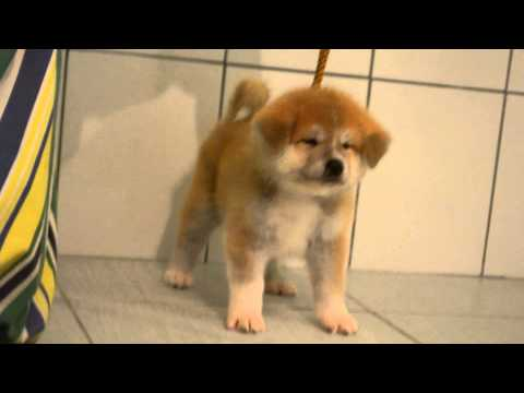 akita inu female for sale