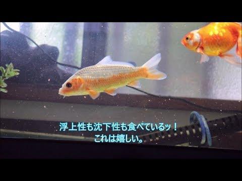 【錦鯉】導入した浅黄に初めての餌やり