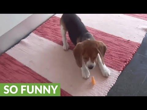 cucciolo-di-beagle-e-la-fetta-di-mandarino