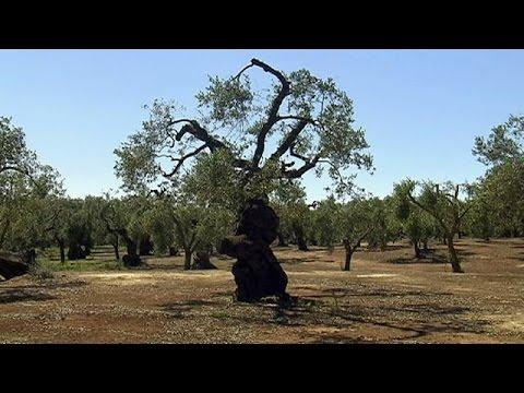 Ιταλία: Τέλος στην καταστροφή των ελαιόδεντρων βάζουν οι αρχές