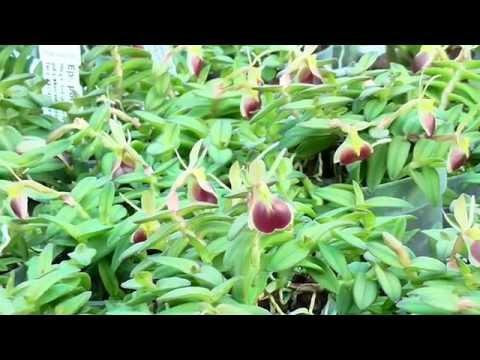 Orchideen Arten: Epidendrum porpax