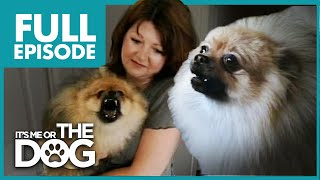 Video Monster Pomeranian: Teddy Pom-Pom   Full Episode   It's Me or the Dog MP3, 3GP, MP4, WEBM, AVI, FLV Juni 2019