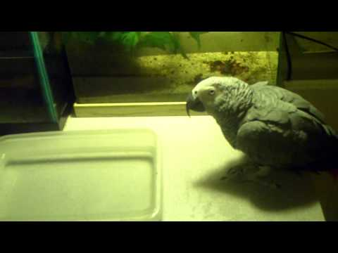 African Gray Parrot bathing.