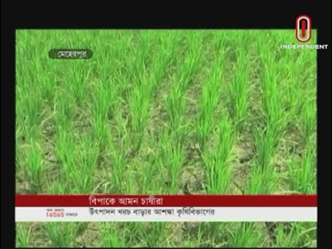 Hot weather dries field Amon Paddy (22-09-2019) Courtesy: Independent TV