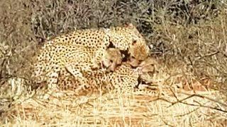 3. Cheetah