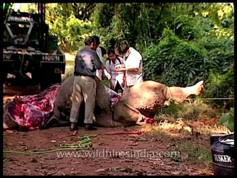Video Departed Rhino during postmortem download in MP3, 3GP, MP4, WEBM, AVI, FLV January 2017