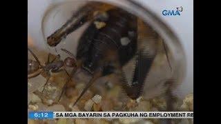 UB: Langgam, pwede ring maging pet