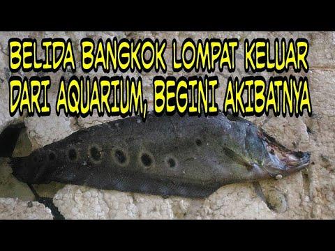 BELIDA BANGKOK MELOMPAT DARI AQUARIUM, BEGINI AKIBATNYA ??????_Akvárium