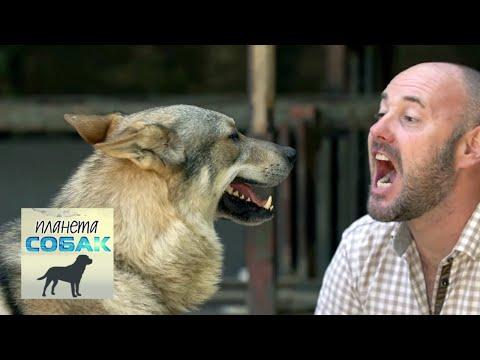 Итальянский волк. Планета собак