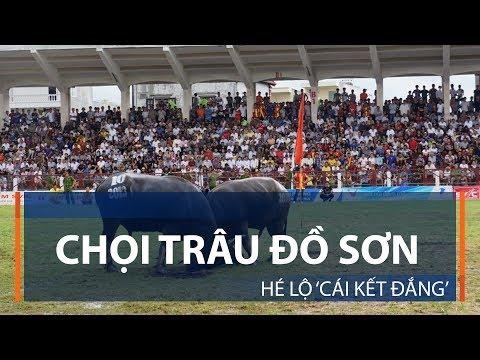 Chọi trâu Đồ Sơn: Hé lộ 'cái kết đắng' | VTC1 - Thời lượng: 53 giây.