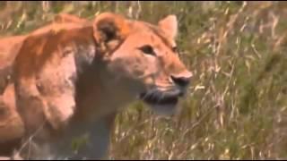 Video Super Pride   Africas Largest Lion Pride documentary english part 1 MP3, 3GP, MP4, WEBM, AVI, FLV April 2019