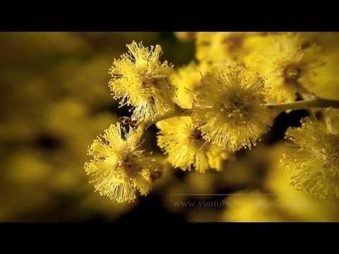 acacia dealbata – caratteristiche