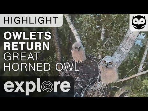 Live-Cam: Vögel - Virginia-Uhu / Great-horned Owl  ...