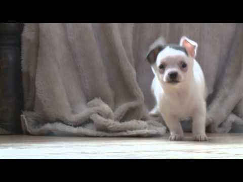 Adolf the Chihuahua puppy dog that looks just like Nazi dictator Adolf Hitler