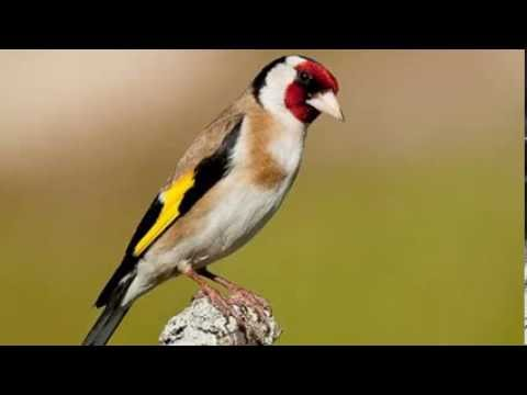 Chant de chardonneret / Goldfinch song  Parva 2014