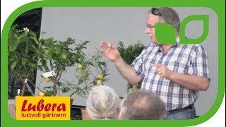 Geschichte der Citrus - Die Medici in der Renaissance