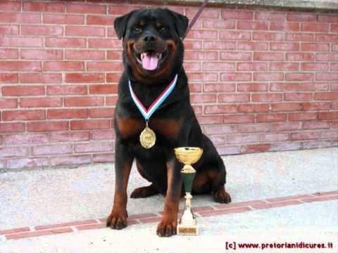 il rottweiler: il cane più bello del mondo
