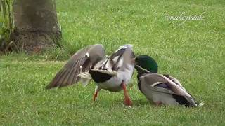 Mallard Duck Fight