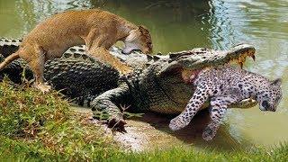 Video Crocodile is king swamp! Crocodile vs Leopard, Lion - Big Battles In The Swamp MP3, 3GP, MP4, WEBM, AVI, FLV Februari 2019