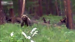 Video Bear Charging Hunters Stopped Dead In Tracks MP3, 3GP, MP4, WEBM, AVI, FLV Juli 2017
