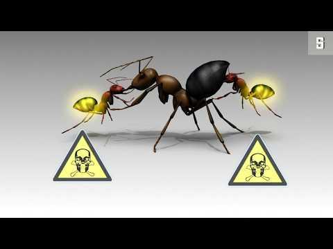 Neue Ameisenart: Explodieren zum Wohl des eigenen Vol ...