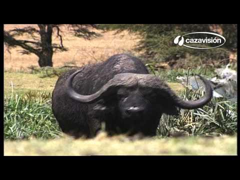 El búfalo del Cabo