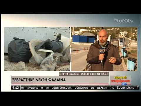 Ξεβράστηκε κήτος 15 μέτρων στην Κερατέα! | 29/11/2019 | ΕΡΤ