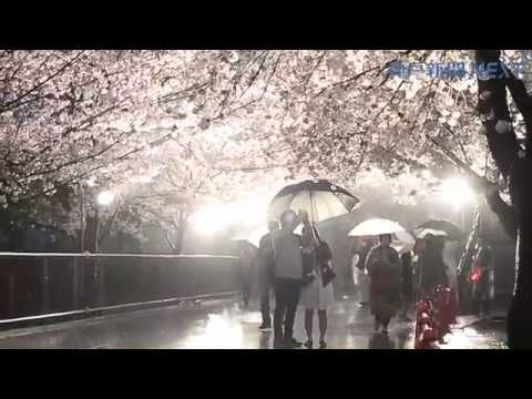 夜桜雨にしっとり 神戸・王子動物園