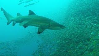 South West Rocks Australia  city photo : Grey Nurse Sharks, Fish Rock Cave, South West Rocks, NSW, Australia