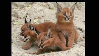 Download Video Kucing Caracal Kucing Paling Eksotis di Dunia MP3 3GP MP4