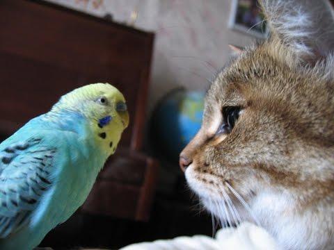 Попугай выносит мозг коту