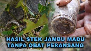 Video Hasil stek Jambu Air Madu Hijau Usia 1 Bulan tanpa obat2an by Kok Ka Lai MP3, 3GP, MP4, WEBM, AVI, FLV September 2018