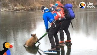 Skaters Rescue Wild Boar Stuck on Ice | The Dodo
