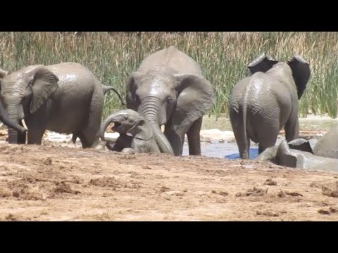 Стадо слонов спасло слоненка от смерти