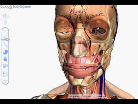 google body browser - A quick 2 minute demo of Google's new Body Browser. Having a look at the full body anatomy See here for install instructions http://bit.ly/hRWqVi Website: ht...