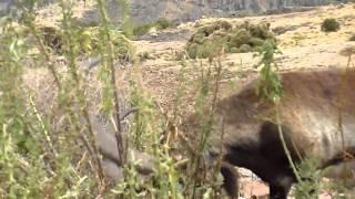 Walia Ibex Simien Mountains II