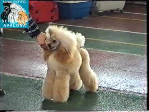Poodles participated in Russia show on september 2005 in Moscow - Part 1. (видео)