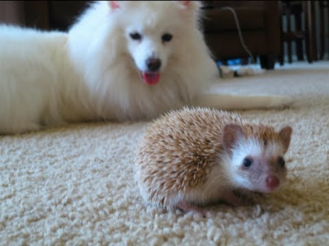 Dog meets Hedgehog