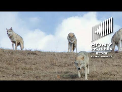 Wolf Totem videos.
